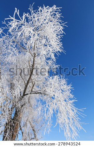 close-up branch in hoarfrost against the blue sky