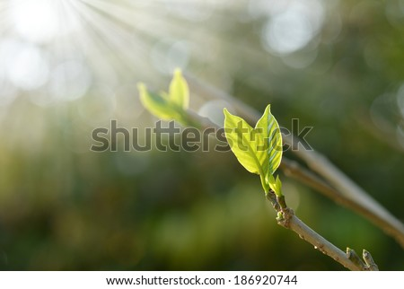 close up branch with young leaves in spring - stock photo
