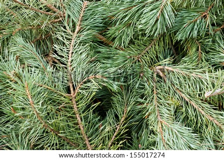 Close up branches and needles from a pine tree