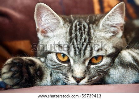 close-up British Shorthair kitten with the classic tabby markings - stock photo