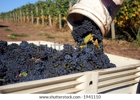 Close up bucket of grapes being dumped into a full bin - stock photo