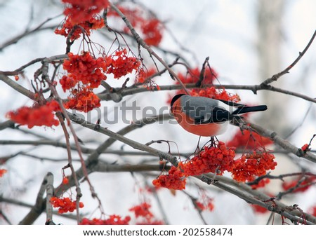 close-up bullfinches on branches of maple and rowan winter February day - stock photo