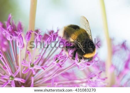 Close up bumblebee sucking nectar on an echinacea purpurea flower head. Allium. - stock photo