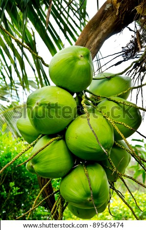 Close up bunch of fresh coconuts - stock photo