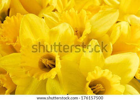 Close up bunch of yellow daffodils - stock photo