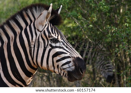 Close up Burchells Zebra in Hluhluwe Game Reserve South Africa - stock photo