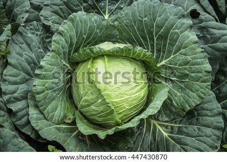 Close-up cabbage in the garden