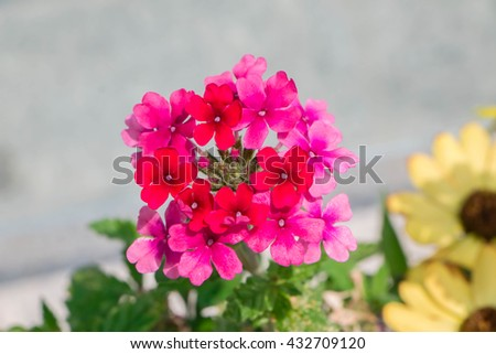 Close up Carnation in the garden (Dianthus barbatus) - stock photo