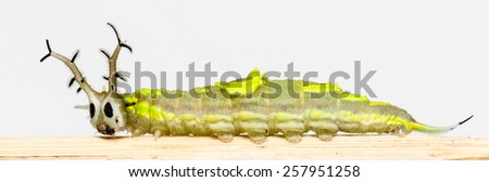 Close up caterpillar of common pasha butterfly on white background - stock photo