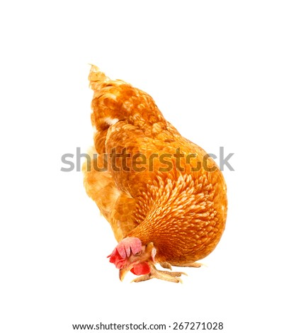 close up chicken hen eating something isolated white background - stock photo