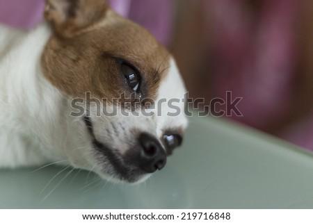Close up chihuahua, sick dog  - stock photo