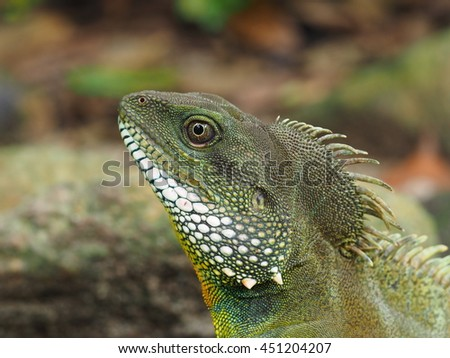 close up Chinese water dragon