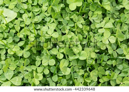 Close up clover texture. Green clover background - stock photo