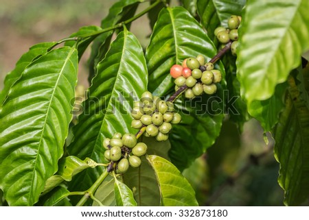 Close up coffee beans on tree in Ranong province, Thailand - stock photo