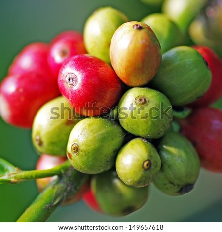 Close up coffee beans ripening on tree. - stock photo