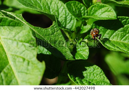 close-up Colorado potato beetle and larvae on the green leaves in the garden sunlight (Leptinotarsa Decemlineata) - stock photo