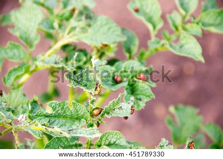close-up Colorado potato beetle and larvae on the green leaves of potatoes in the garden - stock photo