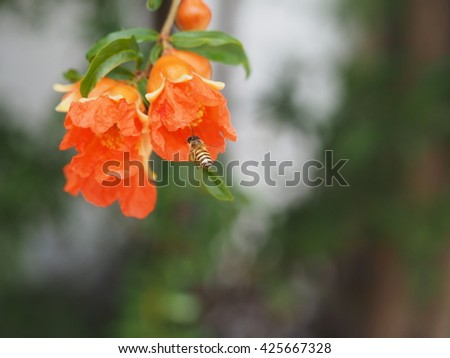 close up colorful pomegranate red flower with bee collecting nectar nature background. - stock photo