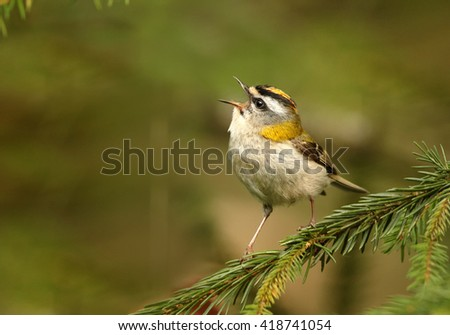 Close-up colorful songbird, Common Firecrest, Regulus ignicapillus, singing male perched on twig with opened bill against blurred green spruce forest in background. Europe, Czech republic - stock photo