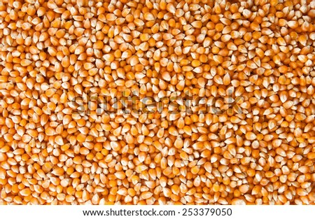 Close up Corn beans background - stock photo