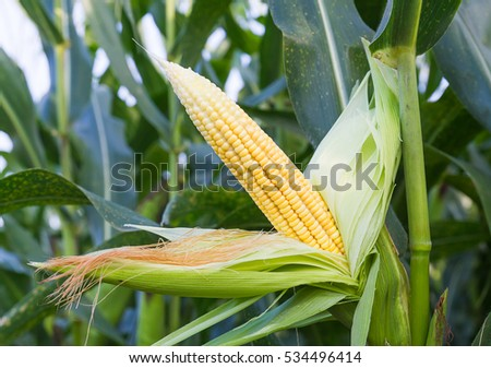 Close up corn on the stalk in the field