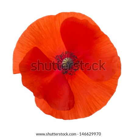 Close-up Corn Poppy (papaver rhoeas) Isolated with Clipping Path - stock photo