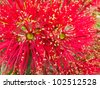 Close-up crimson blossoms of flowering New Zealand tree Pohutukawa, Metrosideros excelsa, also called New Zealand Christmas Tree. - stock photo