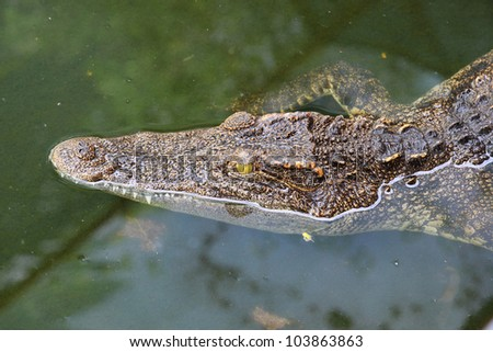 Close up crocodile while in the pool