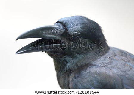 Close up crow like have some question - stock photo