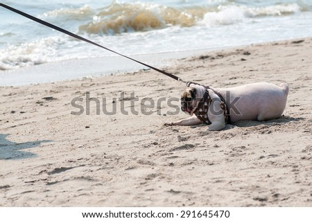 Close-up cute dog pug fear and afraid water sea beach when people try to pull pug to play swim on sand - stock photo