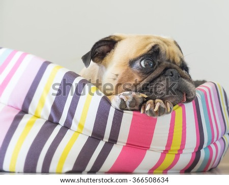 Close-up cute dog Pug puppy resting on her bed and watching to wait somethings - stock photo