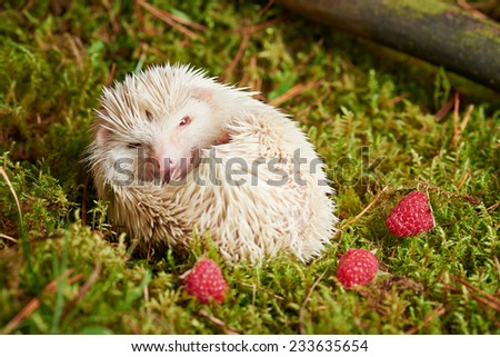 Close up Cute Little White Hedgehog Pet Relaxing on Green Grassland with Red Berries. - stock photo