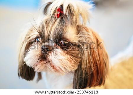 Close Up Cute Shih Tzu White Toy Dog - stock photo