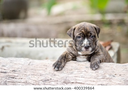 close up cutie pitbull puppy dog - stock photo