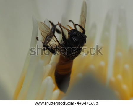 close up dead bee on white lotus. - stock photo