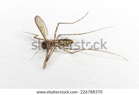 Close up dead body of mosquito on white - stock photo