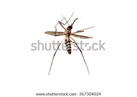 Close up dead mosquito on white background - stock photo