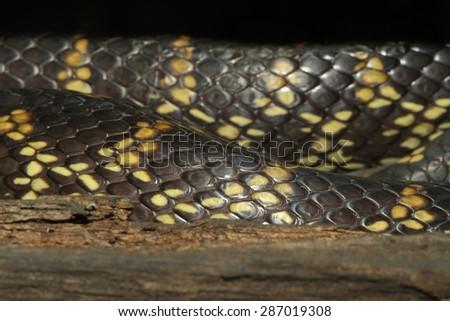 close up Desert Kingsnake skin - stock photo