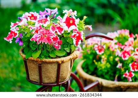 Close Up Detail Decorative Vintage Model Old Bicycle Equipped Basket Petunia Flowers Garden Design. Toned Photo. - stock photo