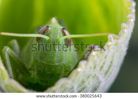 close up detail of a green grasshopper or locust hiding on a leaf