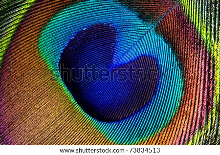 Close up detail of a peacock feather - stock photo