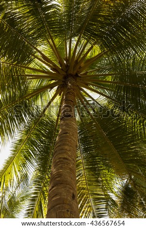 Close up detail of a tropical coconut palm tree variety found in Maldive - stock photo