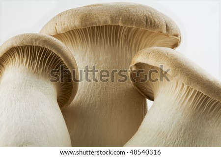 close up detail of chinese oyster mushrooms