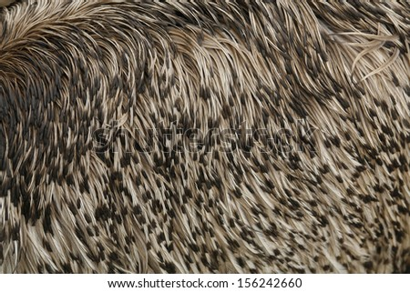 Close up detail of Emu Feathers, Australian native flightless bird