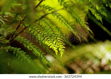 Close up detail of fronds on a Tasmanian Tree Fern(Dicksonia antarctica), also known as soft tree fern and man fern - stock photo