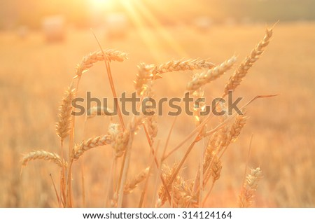 Close-up detail of the ear of wheat at sunset