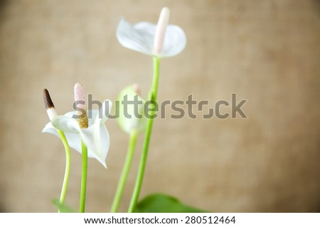 close up detail of white anthurium flower on brown background - stock photo
