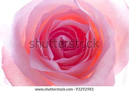 Close up direct frontal shot of a illuminate pink rose. - stock photo