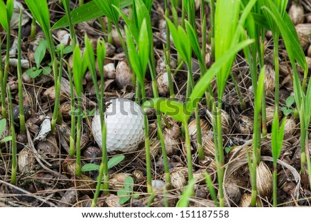 Close up dirty golf ball stuck in palm seedlings - stock photo
