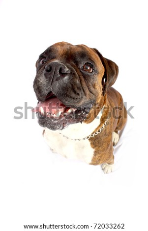 Close-up distorted facial of brown Boxer with white chest